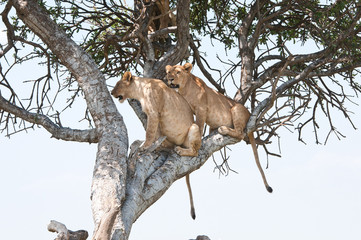 two young lions on a tree - national park masai mara