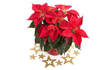 Weihnachtsstern mit goldenen Sternen