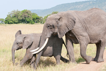 african elephant with baby walking in the savannah