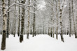 Beautiful snow covered branches of birch grove in russian winter