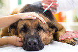 veterinary surgeon is giving the vaccine to the dog German Sheph