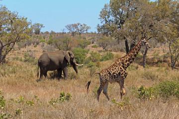 Guraffe und Elefant