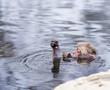 Snow Monkeys bathing in Hot Springs in Nagano, Japan