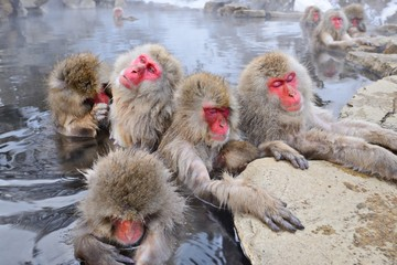 Snow Monkeys bathing in Hot Springs in Nagano, Japan
