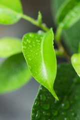 green leaves with drops of water