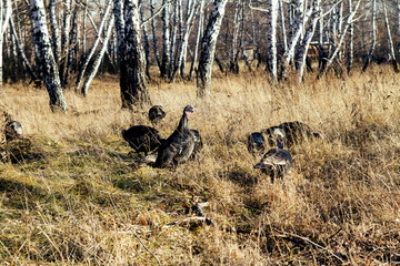 wild turkeys in the woods on the nature