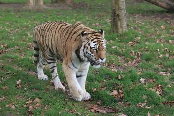 Tigre de Sibérie ou Siberian tiger