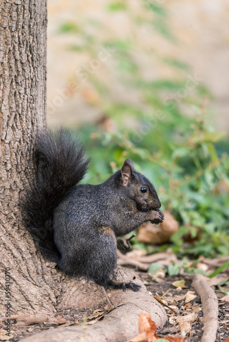 Squirrel looking for food