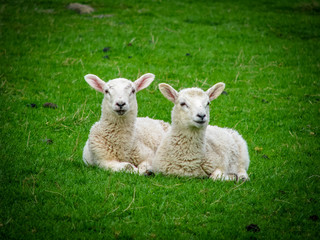 Two Resting Lambs