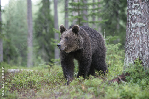 European brown bear, Ursus arctos arctos