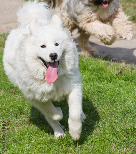 tibetian terrier and samoyed