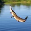 Pike catch.