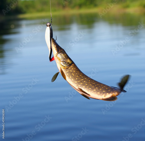 Pike catch.