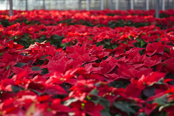 Hundreds of poinsettia flowers ready for the holiday season