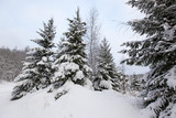 trees in snow in the winter forest