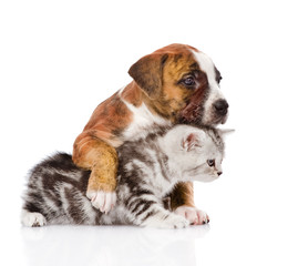 puppy hugs scottish kitten. isolated on white background