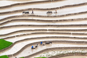 Terraced rice fields - Four farmers at work, the old fashion way