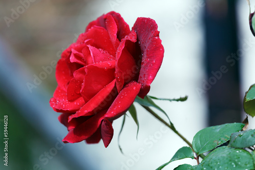 Wet Red Rose with Drops