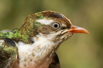 Portrait of a young Diederik Cuckoo (Chrysococcoyx caprius)