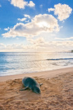 Hawaiian Monk Seal rests on Poipu beach in Kauai
