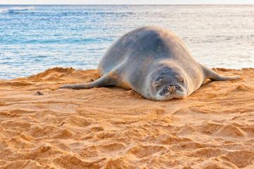 Hawaiian Monk Seal rests on Poipu beach in Kauai