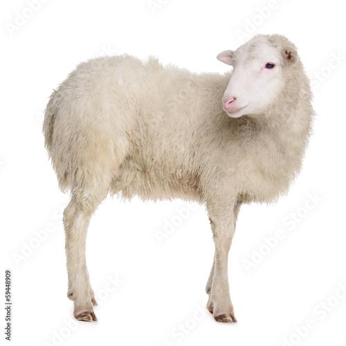Foto op Aluminium Schapen sheep isolated on white