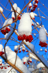 Bright red berries of viburnum on the branches in the winter