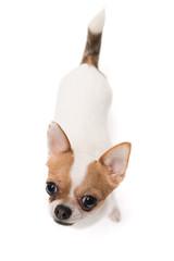 High angle shot of Chihuahua
