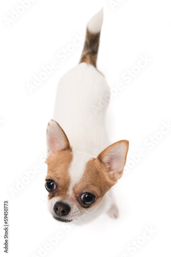 High angle shot of Chihuahua