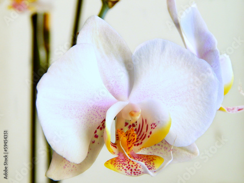 Beautiful orchid with white and yellow petals close up © mariakarabella