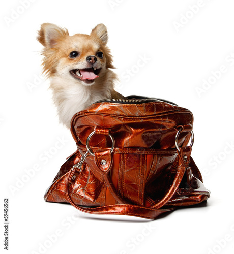 Chihuahua in Bag