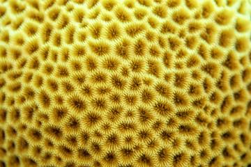 Brain coral texture