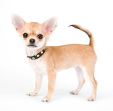 Chihuahua puppy with black leather studded collar on white