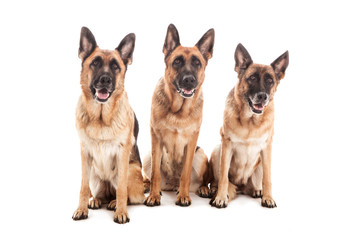 Portrait of three German shepherds