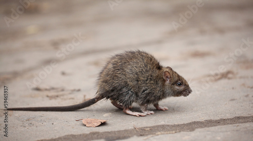 Papiers peints Kangaroo gray rat
