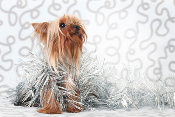 cute Yorkshire Terrier on gray background