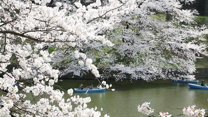 皇居千鳥ヶ淵の桜 (2013年3月22日) ボートを漕ぐ人々