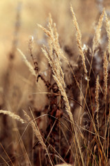 dry sedge grass background