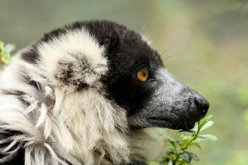 White-collared lemur