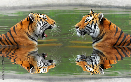 Poster Luipaard Siberian Tigers in water