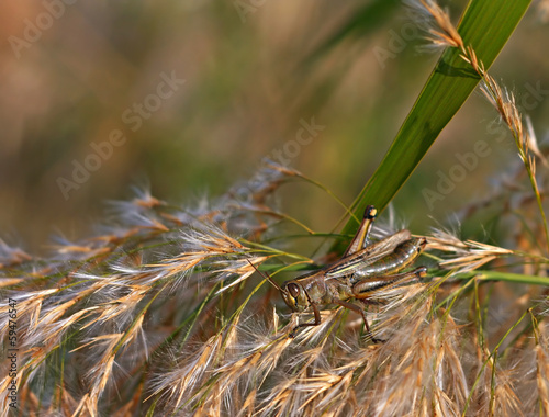 Grasshopper feeding on pampas grass at sunset