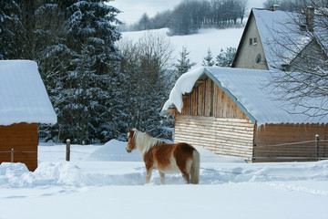 Horse looking on stable in winter