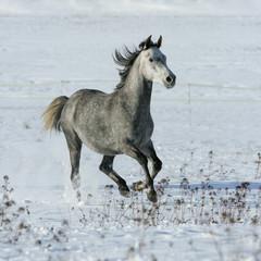 Beautiful arabian horse running in winter