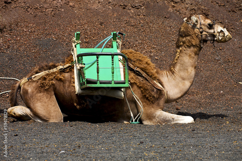 brown dromedary bite in the volcanic timanfaya lanzarote spain a