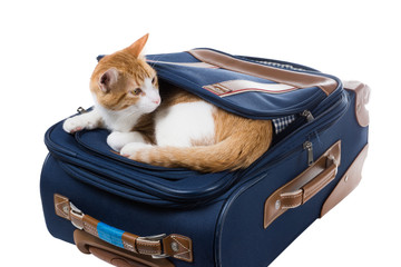 Red cat is in the pocket of a suitcase and looking around