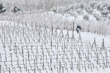 man walking among rows of vines in the snow