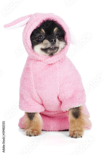Pomeranian in rabbit costume