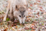 Blonde Wolf (Canis lupus) Sniffs Intently poster