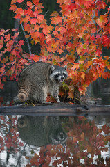 Raccoon (Procyon lotor) Cries Out with Reflection