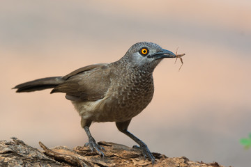 Brown Babbler (Turdoides plebejus) with grasshopper